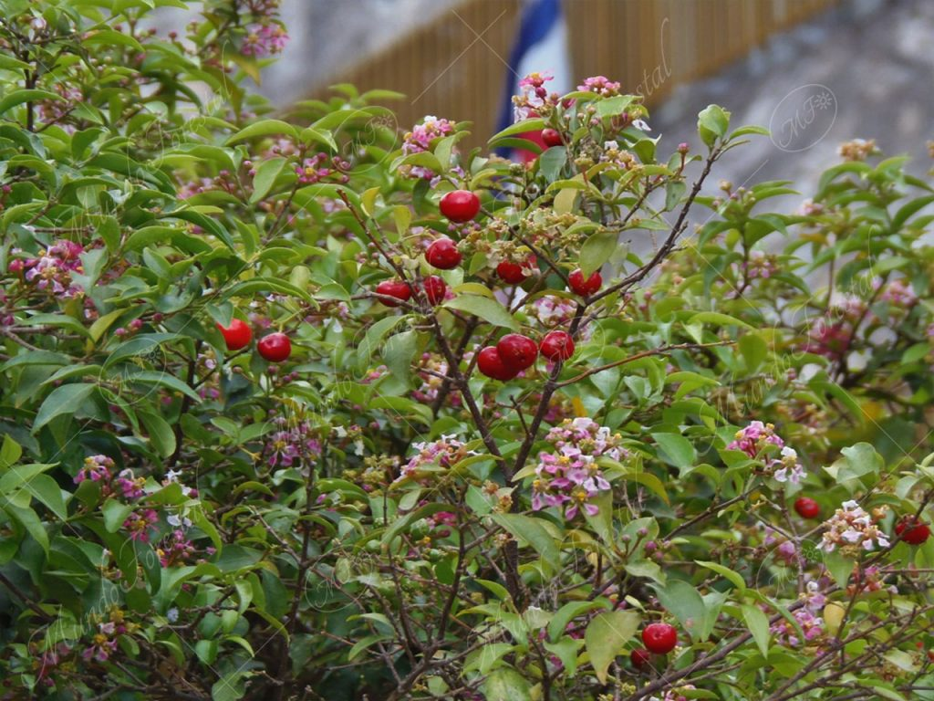 Flores y frutos de acerola Malpighia glabra