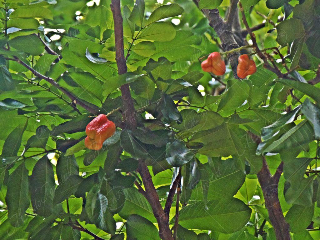 Seso vegetal - Blighia sapida-