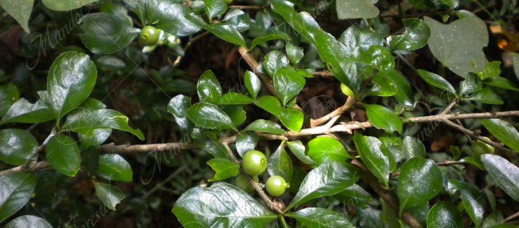 Espino crucilla - Randia aculeata -