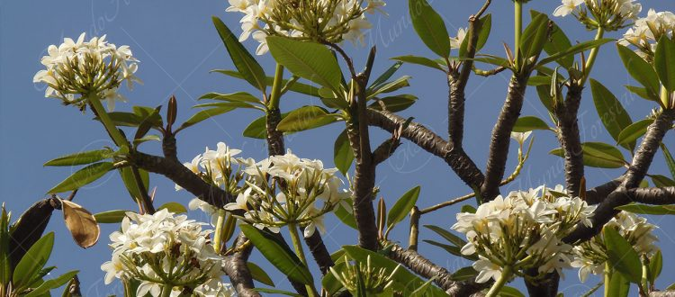 Juche Plumeria rubra
