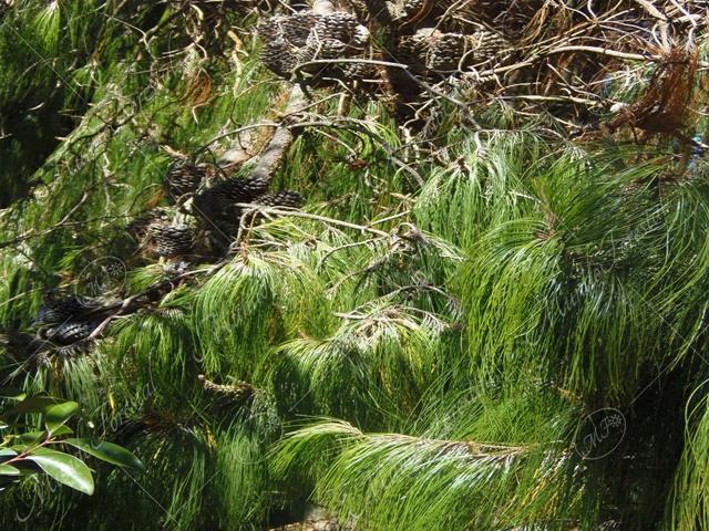 Pino triste - Pinus patula