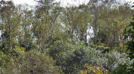betulacea