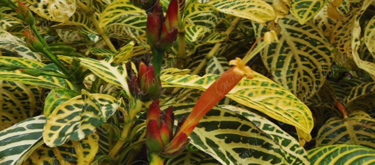 El cachimbo amarillo o lotería - Sanchezia speciosa -