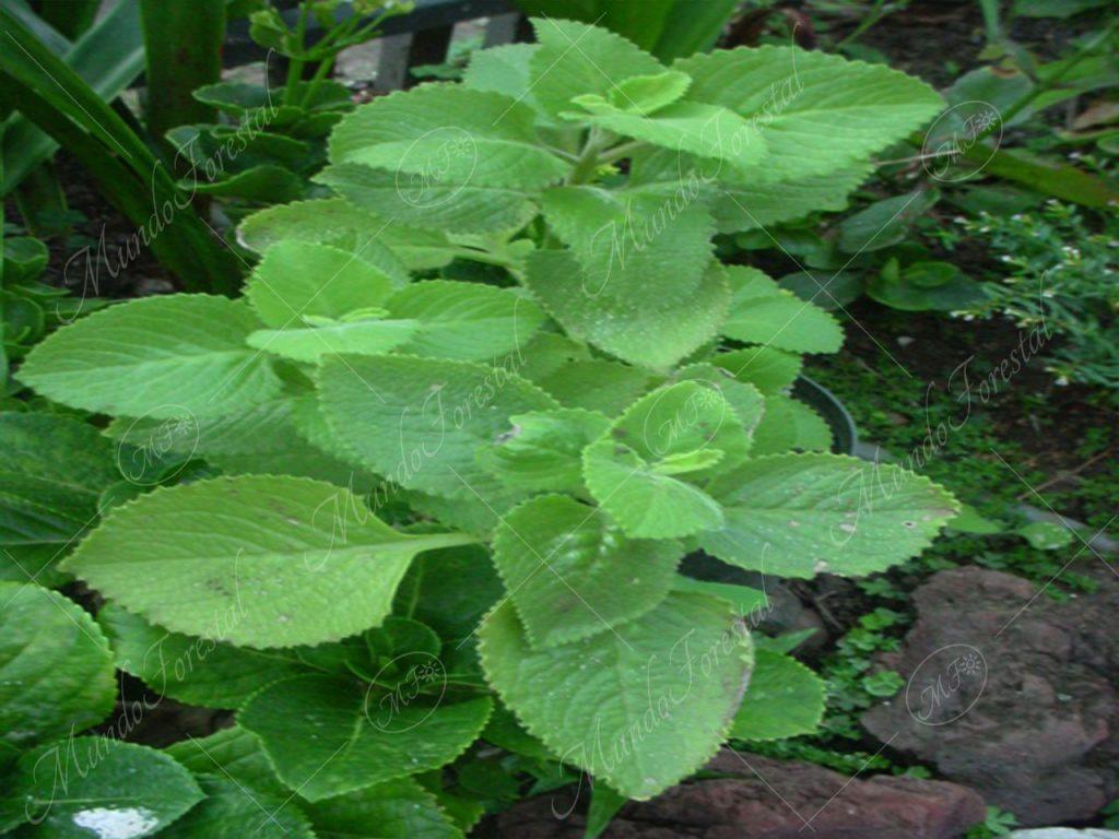 Orégano extranjero - Plectranthus unguentarius -