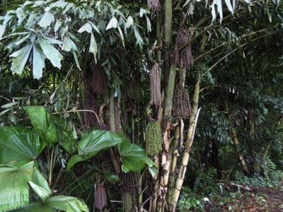 Palma cola de pez - Caryota urens -