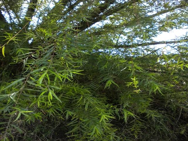 Sauce -Salix chilensis-