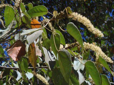 Targuá - Croton gossypiifolius
