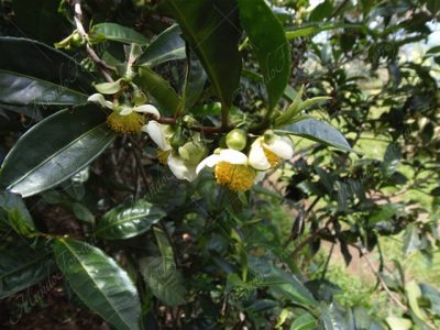 El té - Camellia sinensis-