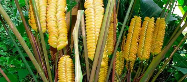 Bijagua cascabela - Calathea crotalifera