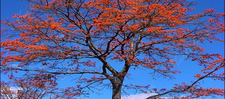 Poró gigante o extranjero - Erythrina poeppigiana -