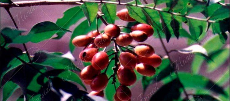 Caregre (Picramnia antidesma subsp. fessonia