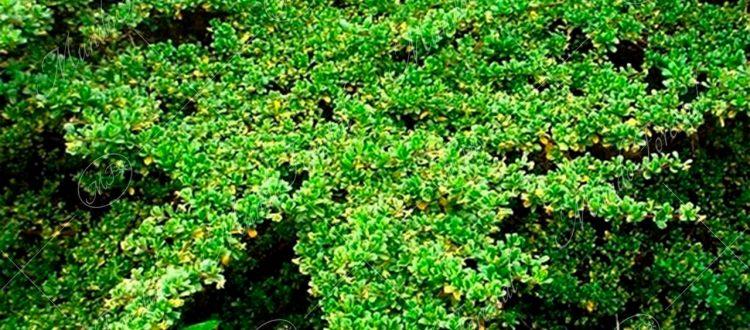 Cipresillo - Escallonia myrtilloides