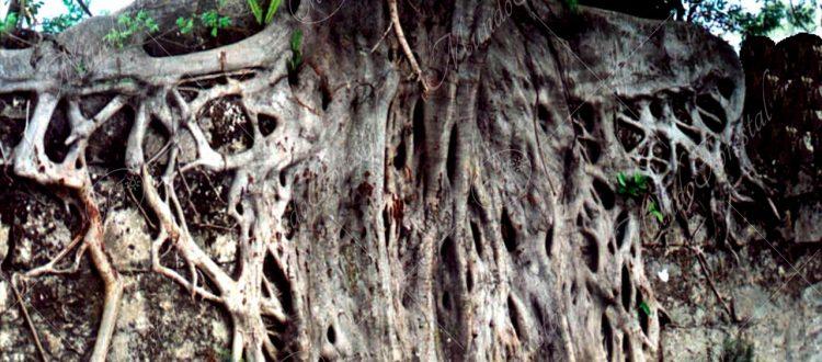 Raíces de higuerón blanco - Ficus aurea -