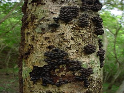 Hongo en cocobolo - dalbergia retusa -
