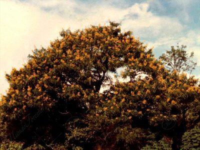 El candelillo de Santa Ana - Cassia spectabilis -