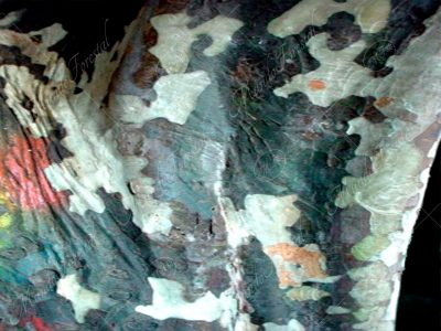 La llamativa corteza del cas - Psidium friedrichsthalianum -